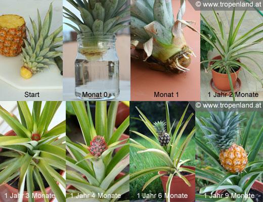 Ananas Ananas Comusus Das Pflanzen Reich