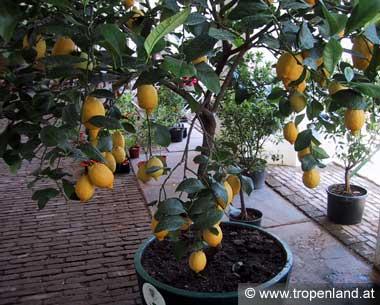 Die Zitrone eignet sich gut als Kübelpflanze. (Orangerie, Schloss Schönbrunn - Wien)