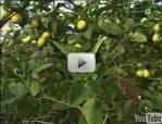Zitrusfrüchte – Bericht aus einem Gewächshaus in Österreich – Video